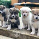 Japanese Akita Inu puppies-5da46a6412043