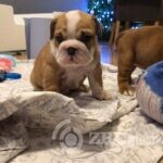 english-bulldog-pups-5e0bcf2621a45