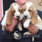kc-registered-basset-hounds-5dfdf8c9be52f