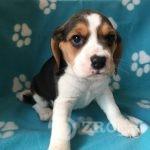 Copy of kc-registered-beagle-puppies-5cc18f007101f-a643ee16