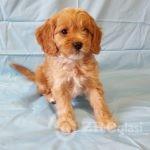 adorable-cavapoo-puppies-health-tested-5e3835ec74a45-9cedaac7