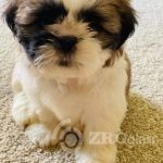 adorable-shi-tzu-puppies-5f44f59e8881c - Copy - Copy-4cad5cac