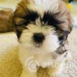 adorable-shi-tzu-puppies-5f44f5a02f247 - Copy-13c32584