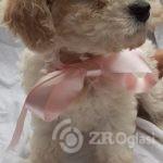 beautiful-cavachon-puppies-for-sale-5d35e0cfa5a1b-760x410-21a32f1f