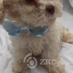 beautiful-cavachon-puppies-for-sale-5d35e0e268a0c-760x410-d69543c1