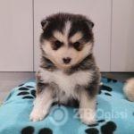 beautiful-f1b-pomsky-puppies-licensed-breeder-5cca07cc7b0c6-272d422a