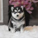 beautiful-f2b-pomsky-puppies-5e094854b3e23-cdc62550