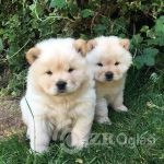 beautiful-pedigree-cream-chow-chow-pups-16914800-1_800X600-8cbbb896