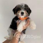 biewer-terriers-5f2e97af61cfb-8962f8f6