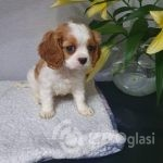 cavalier-king-charles-boy-puppies-5e4d6d8f6c4d3-fea34d32
