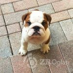 englishbulldog_stories___B83uuVCHmw3___-679fe685