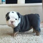 englishbulldog_stories___Buq25S1AT_l___-a606534b