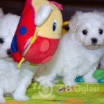 gorgeous-kc-reg-maltese-puppies-5d9cc2a591223-d5f0bb1d