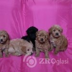 toy-poodle-x-french-bulldog-puppies-for-sale-5d4e3f9502b6a-0a860d4d
