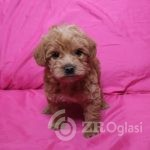 toy-poodle-x-french-bulldog-puppies-for-sale-5d4e3f95345d0-914768bb