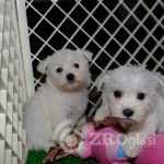 weechon-puppies-ready-now-5e56cf1a7fe42-9aef01bc