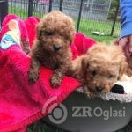287191_toy-poodle-puppies-for-free-adoption_1_thb-e0328f33