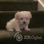 7-gen-kc-reg-maltese-puppies-5e0398014abf3-6023520a