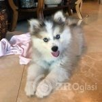 Home trained Pomsky puppy available-431d53f6