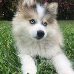Home trained Pomsky puppy available2-21aa4006