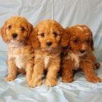 adorable-cavapoo-puppies-health-tested-5e383683b0672-173c0cb0