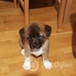 american-akita-puppies-5e3dfb8dc51cc-3a1dbea6