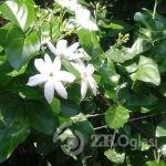 arapski jasmin  širokolisni cvet-ec48cda4