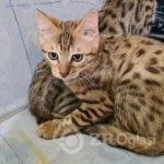 bengalska_macka_prodaja-82552ca7