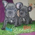 blue-french-bulldog-puppies-kc-hc-clear-5e04e268a8539 (1) - Copy-bcdc2426