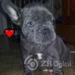 blue-french-bulldog-puppies-kc-hc-clear-5e072b89ea6bb-9813f3a1