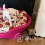 chihuahua-puppies-5e07b578269a9-7588f0aa