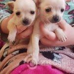 chihuahua-pups-5e0cc7a78585d-6bdc084d