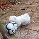 full-korean-maltese-puppy-5dd98dba574c4 (1)-08f990d6