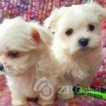 gorgeous-pedigree-maltese-pups-kc-registered-5e3193a63d889-af4071dc