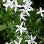 jasmin uskolisni cvet-7a8f90b9