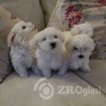 kc-maltese-puppies-3-little-girls-and-1-little-boy-5e300a99e20be-cba5d95e