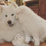 samoyed_puppies-___8pmPW9BG29___--fab26808