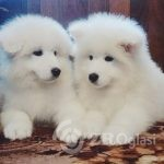 samoyed_puppies-___BDfYLb9hG8h___--c39b6d8f