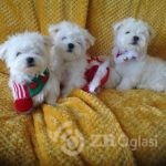 small-kc-maltese-puppies-dna-tested-clear-parents-5dd2987635175-6e8db6e3