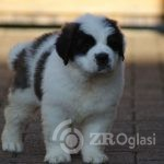 st-bernard-puppies-for-sale-5e58376b7eeba-9b8cbfc2