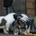 st-bernard-puppies-for-sale-5e58384c8d1e1-e101accf