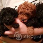 toy-poodle-poppys-for-sale-boy-and-female-black-5f37e5a3e3da8-51cdff9f