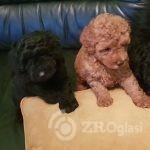 toy-poodle-poppys-for-sale-boy-and-female-black-5f37e5e9d4446-9b6affbd