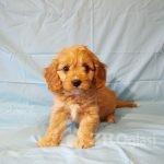 adorable-cavapoo-puppies-health-tested-5e383671d830f-a7a96e5e