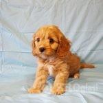 adorable-cavapoo-puppies-health-tested-5e3836775bd8a-63bbe481