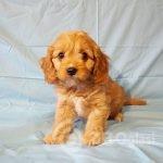 adorable-cavapoo-puppies-health-tested-5e38367d8ad1d - Copy-60c99fd1