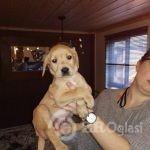 adorable-chunky-yellow-labrador-puppies-5e2b362e4f123-6378c590