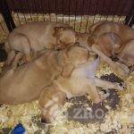 adorable-chunky-yellow-labrador-puppies-5e3c046cc5017 (1)-d77115e5