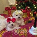 half-korean-maltese-puppies-5ddff5bf7cb43-4d8bdc6c