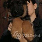 nemacki ovcar 02-a8e1066a